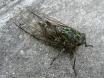 Macro cicada
